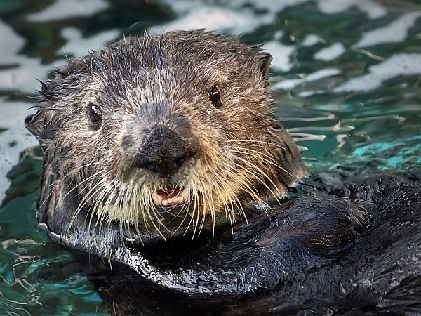 Millie the sea otter