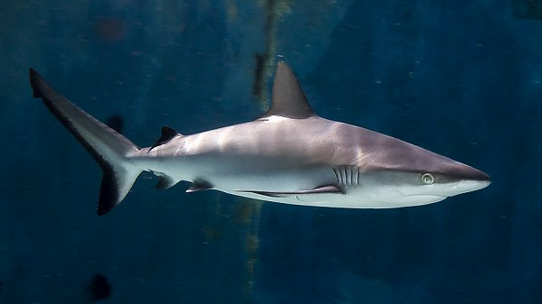 Grey Reef Shark dark blue background