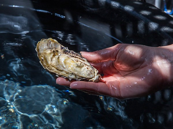 Hand holding a large oyster