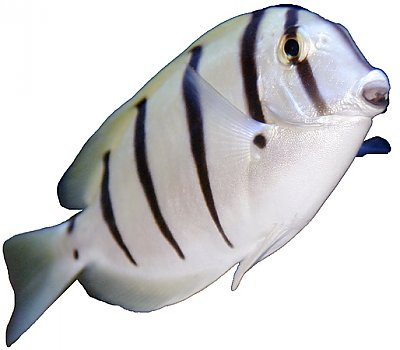 Convict Surgeonfish on White - thumbnail