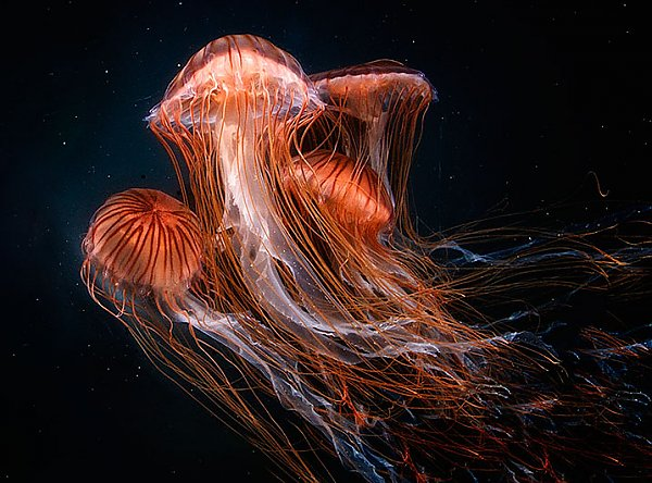 Japanese Sea Nettle