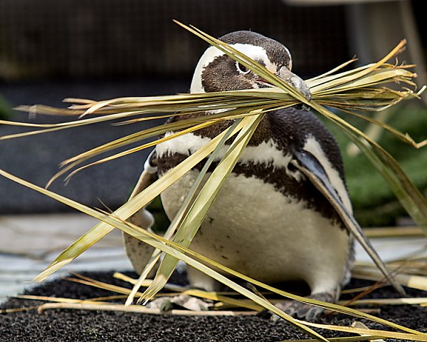 Penguin with straw in its mouth building a nest