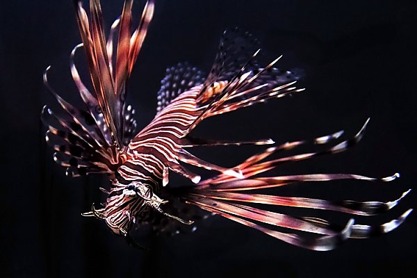Lionfish outstretched