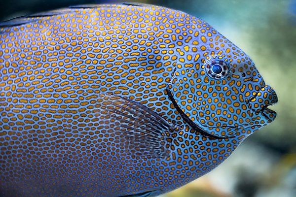 Sideview of a large spotted fish