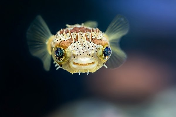 Balloonfish front view
