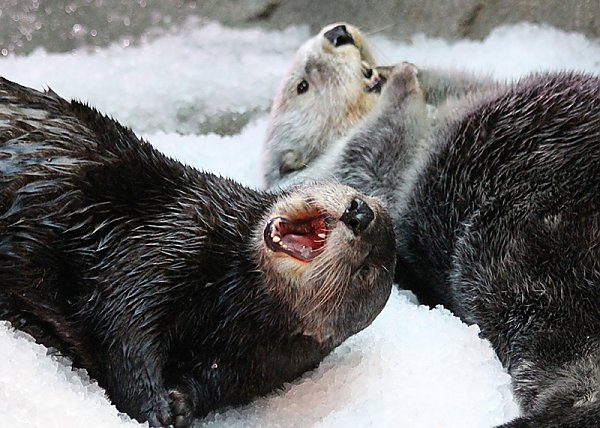 two otters laying down on ice