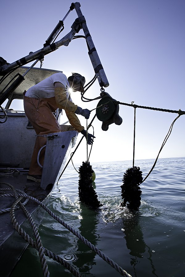 A mussel farmer pulling mussel lines on his boat off the coast of California.