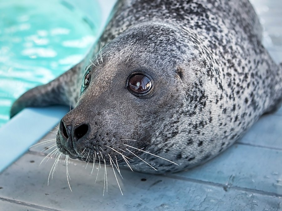 Ellie the harbor seal