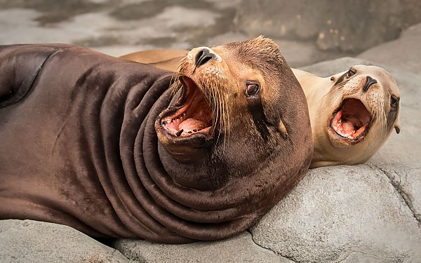 Two sea lions with mouths open