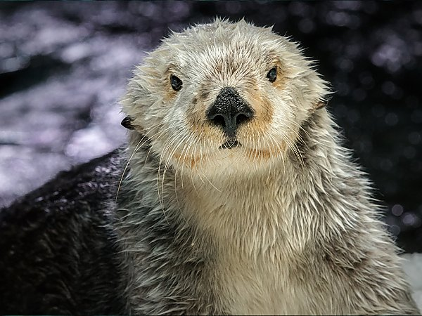 southern sea otter looking at camera