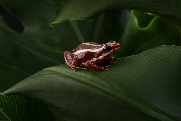 Tricolor Poison Dart Frog Sits on Leaf