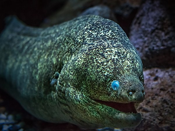 california moray eel