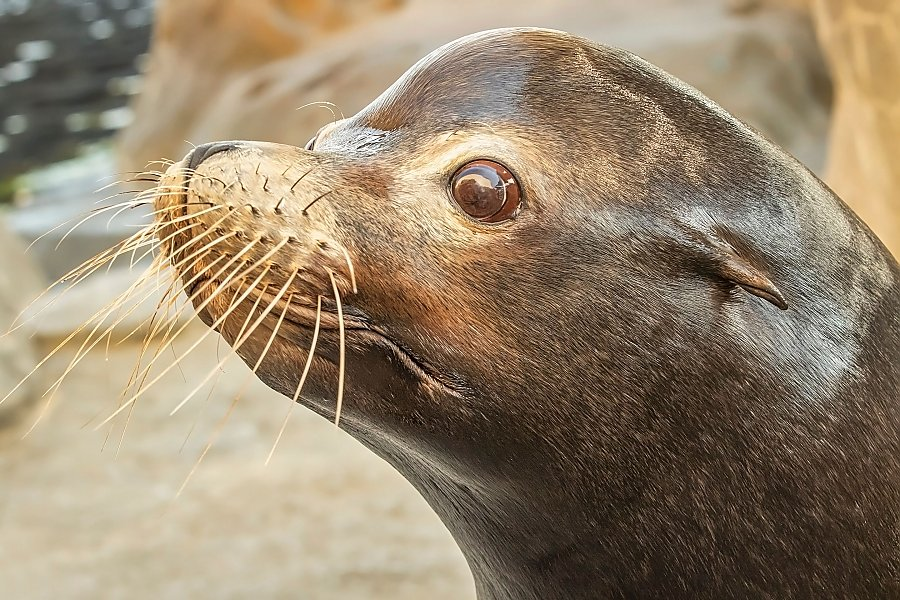 Close-up of sea lion looking to left