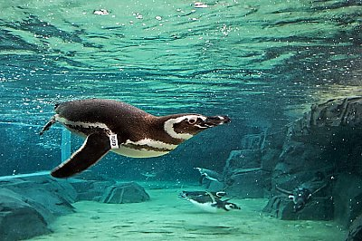 Penguins in water - thumbnail