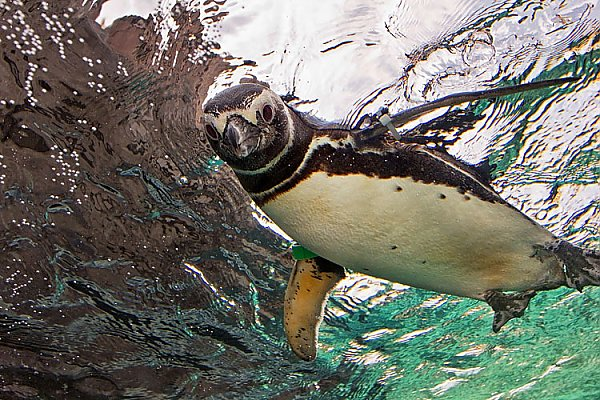 Penguin swimming on top of the water
