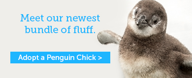 Adopt a Penguin Chick