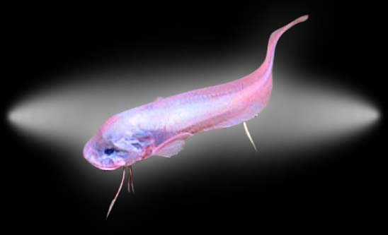 Journal hadalpelagic snailfish sciox Choice Image