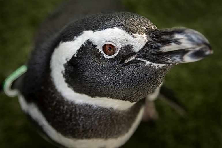 Avery the Magellanic penguin