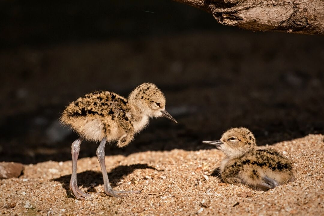 black-necked stilt chicks