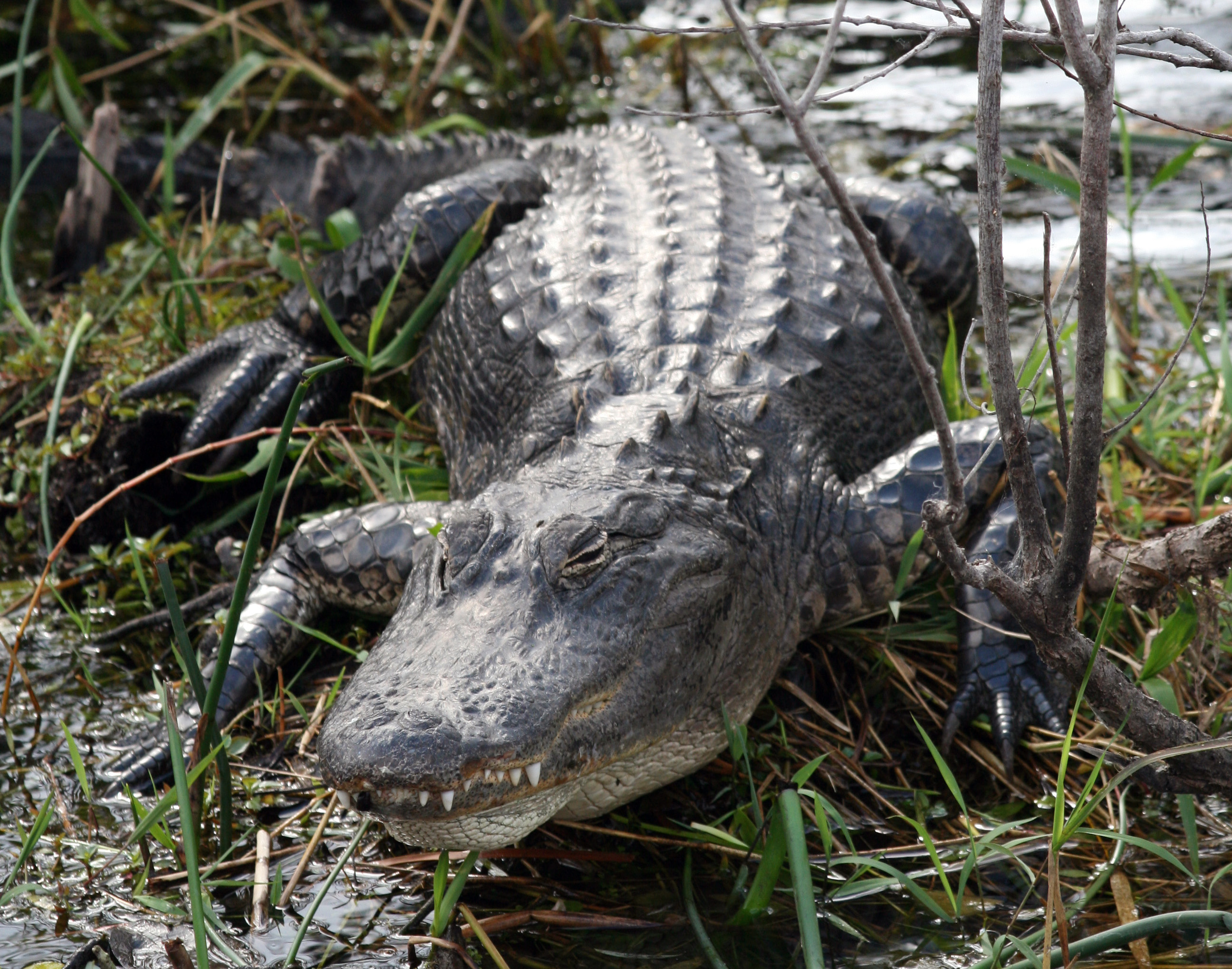 an overview of the alligator mississippiensis species Alligators tend to be smaller than their crocodile cousins but alligator mississippiensis: the chinese alligator is a much smaller species.