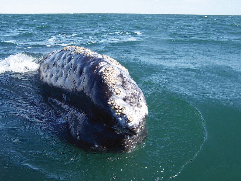 http://www.aquariumofpacific.org/images/olc/125gray_whale.jpg