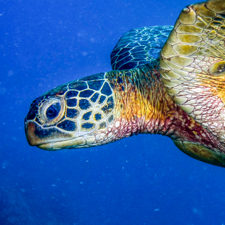 Green Sea Turtle Profile Head