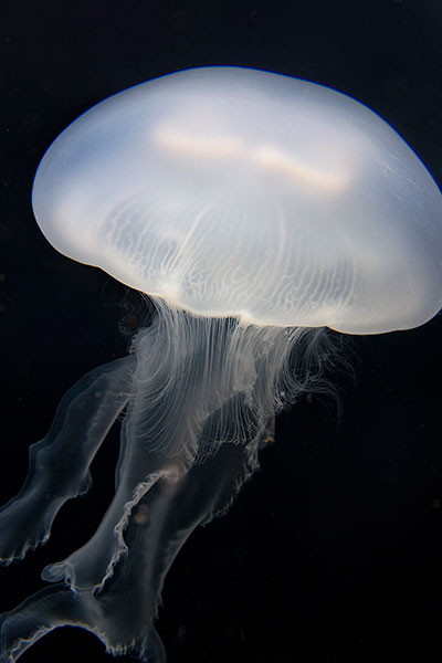 Moon jelly white