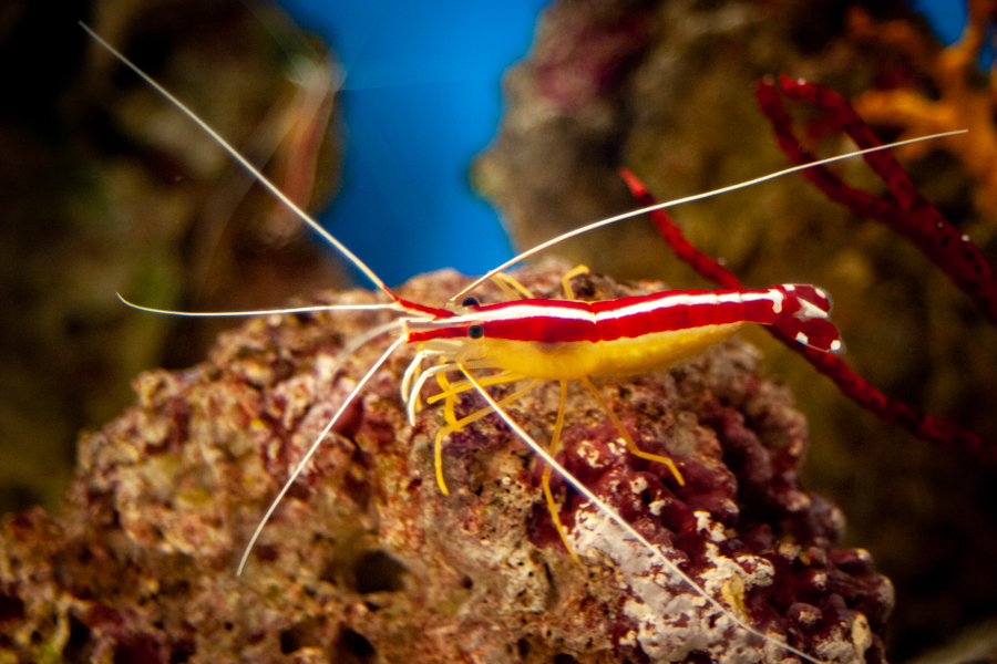 Pacific Cleaner Shrimp from the side