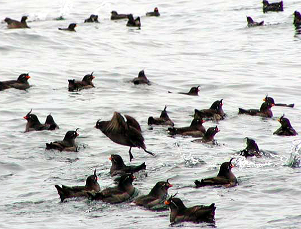 Crested Auklet Flock