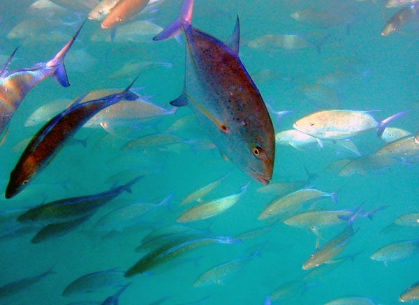 Bluefin Trevally in Ocean