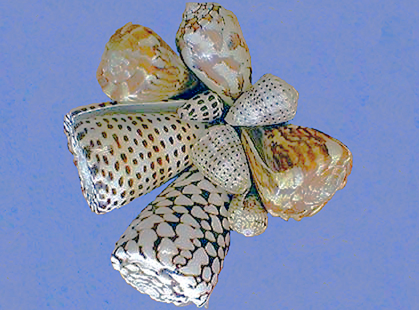Cone snails on blue background