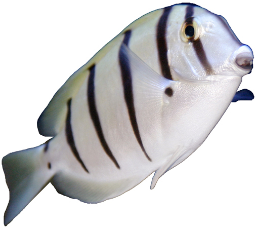Convict Surgeonfish on White