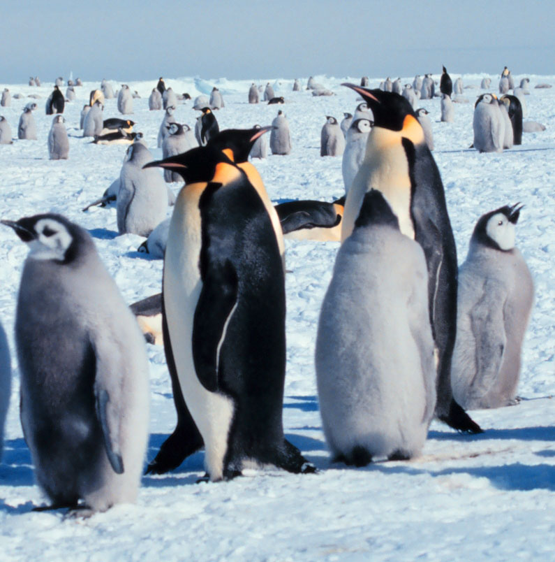 Emperor penguin size comparison - photo#27