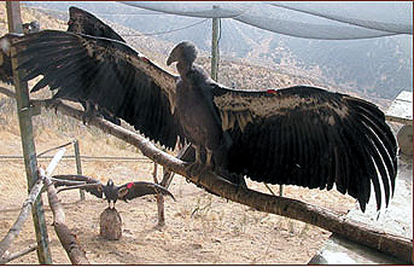 Largest flying bird in the world andean condor - photo#6