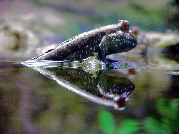 [Image: mudskipper600.jpg]