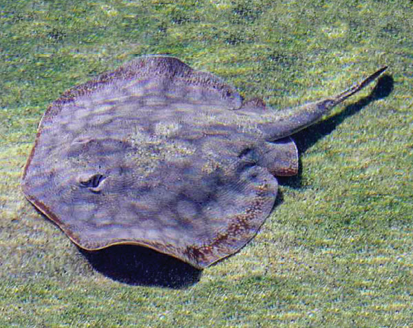 Aquarium of the pacific online learning center round for Types of ray fish