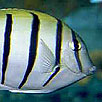 Convict Surgeonfish Head