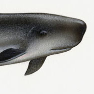 Pygmy Sperm Whale Illustration Detail