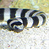 Banded Sea Krait Closeup