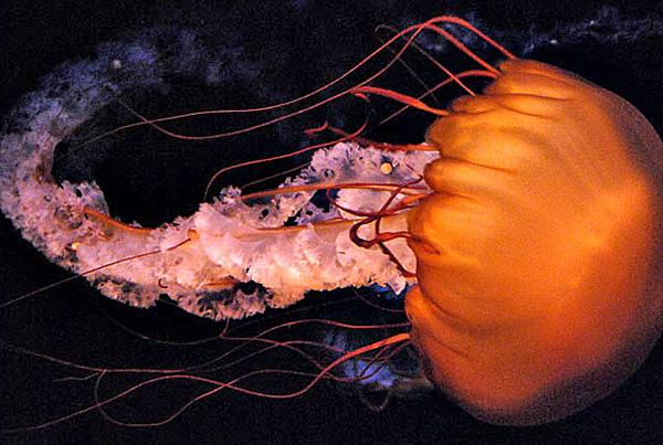 Sea Nettles (Class Scyphozoa)