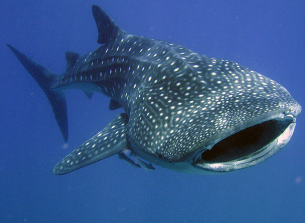 largest whale shark - photo #47