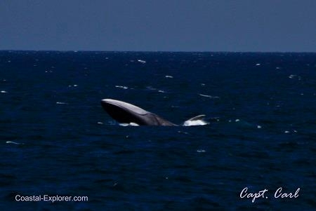Cows, Calves and Breaching Whales!