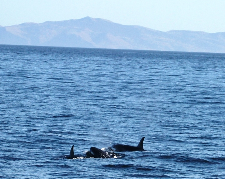 One Whale, Two Whale, Gray Whale, Blue Whale! Killer Whales and Humpbacks too!