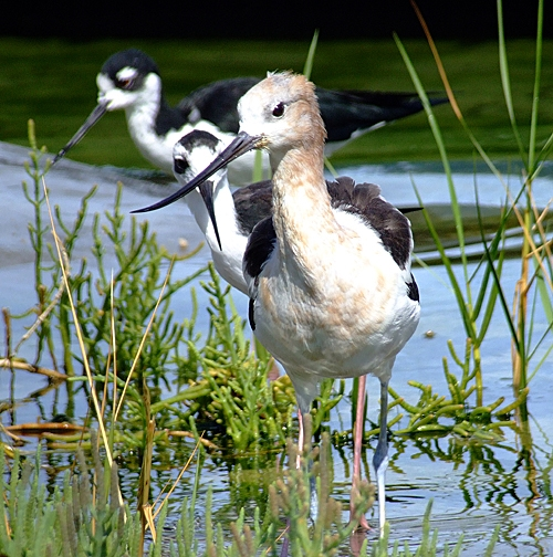 Abe the Avocet and a Rescued Snowy Egret