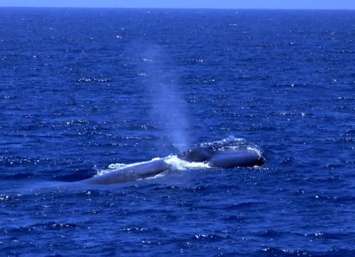 BLUE WHALE FLUKE PRINTS AND POOP PRINTS