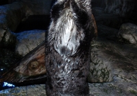 Getting to Know Brook the Sea Otter