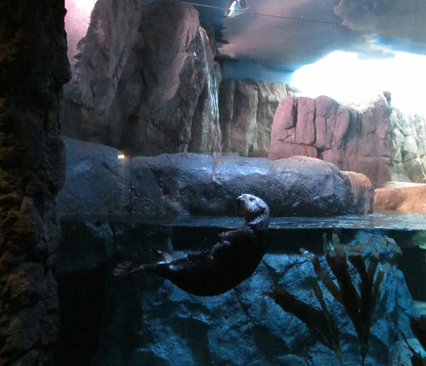 Enjoying the New Sea Otter Exhibit