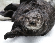 Gidget the Sea Otter Moves to Monterey