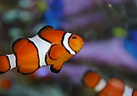 http://www.aquariumofpacific.org/images/blog_uploads/JosieCabiglio_01-Clownfish.jpg