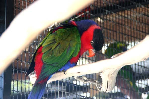 Lorikeets are loads of colorful fun!